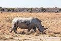 Rinoceronte blanco (Ceratotherium simum), Santuario de Rinocerontes Khama, Botsuana, 2018-08-02, DD 06.jpg