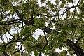 Robinia pseudoacacia blossom in Ubezhenskaya, Russia-1.jpg