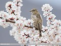 Rock Sparrow (Petronia petronia) (51305951185).jpg