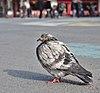 Rock dove (Columba livia) standing on place de la Bourse, Brussels, Belgium (DSCF4427).jpg