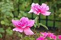 Rosa 'Earth Song' 1.jpg