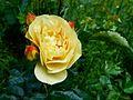 Rosa 'Lampion' - 3.jpg