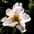 Rosa Begonia X.jpg