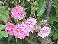 Rosa rugosa6.jpg