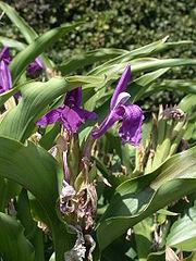 R. purpurea