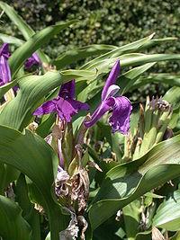 Roscoea purpurea 20070810-1338-183