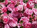 Rose,Morden Centennial,バラ,モーデン センテニアル, (8144856825).jpg