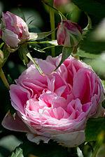 Rose, Carefree Wonder - Flickr - nekonomania (5).jpg