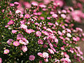 Rose, Orihime, バラ, おりひめ, (9400542711).jpg