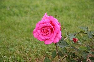 English: Freelance rose - Bagatelle Rose Garde...