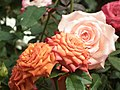 Rose from Lalbagh flower show Aug 2013 7898.JPG