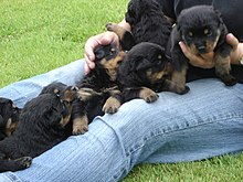 Rottweilers The Heart Of Rescue