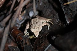 Rough-backed Forest Frog (Platymantis corrugatus)7.jpg
