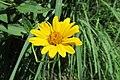 Rough Ox-Eye (Heliopsis helianthoides) 2016-07-12 013.jpg