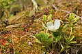 Rubus chamaemorus flowering.jpg