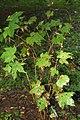 Rubus odoratus 9zz.jpg
