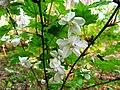 Rubus palmatus var. coptophyllus 2.JPG