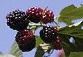 Rubus ssp., Giresun 2018-08-18 3.jpg