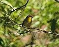 Rufous-capped Warbler (Basileuterus rufifrons) (2554156223).jpg