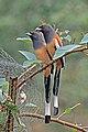 Rufous treepie (Dendrocitta vagabunda vagabunda) Jahalana 5.jpg