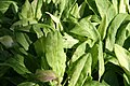 Rumex acetosa Rhubarb Pie 0zz.jpg