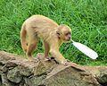 S. flavius SP Zoo 2.jpg
