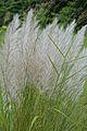 Saccharum spontaneum - Indian Botanic Garden - Howrah 2012-09-20 0175.JPG