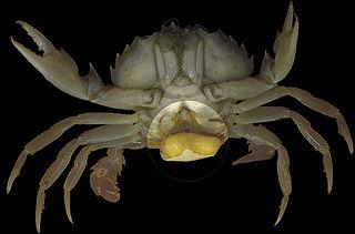 Rhizocephala superorder of crustaceans