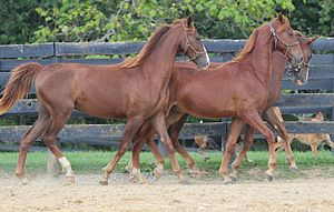 American Saddlebred - Yearlings at a farm in Kentucky