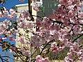 Saint Petersburg. Chinese Garden. Sakura tree2014 07.jpg