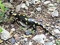 Salamandra salamandra 23.jpg