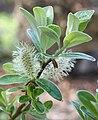 Salix helvetica kvet.jpg