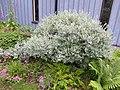 Salix lapponum General view.JPG