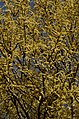 Salix tetrasperma Indian Willow tree from Anaimalai Tiger Reserve JEG1554.JPG