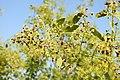 Salvadora persica by Dr. Raju Kasambe DSCN6600 (5).jpg