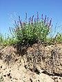 Salvia nemorosa sl1.jpg