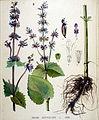 Salvia verticillata — Flora Batava — Volume v19.jpg