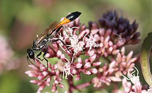 Petiole (insect anatomy) - The sand wasp Ammophila sabulosa has an exceptionally long petiole.
