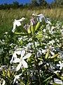 Saponaria officinalis sl10.jpg