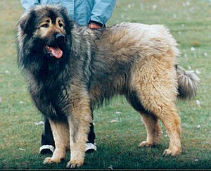 Albanian Shepherd Dog For Sale