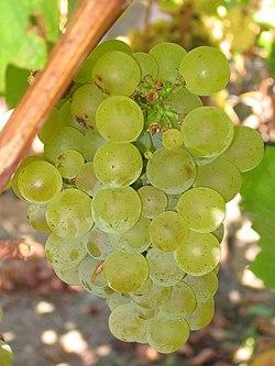 Dojrzałe winogrona sauvignon blanc