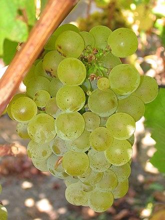 Sauvignon blanc - Ripe Sauvignon blanc grapes