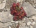 Saxifraga biflora (9658943298).jpg