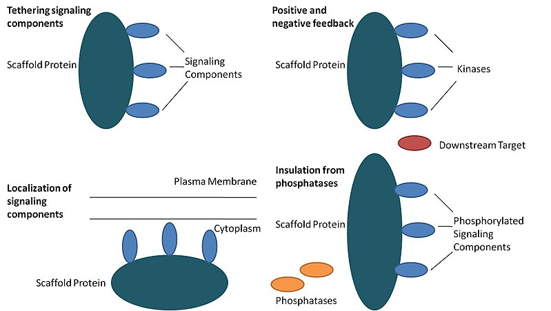 Scaffolding proteins are large relay proteins where other relay proteins attach to.