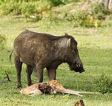 Indian boar scavenging on chital carcass