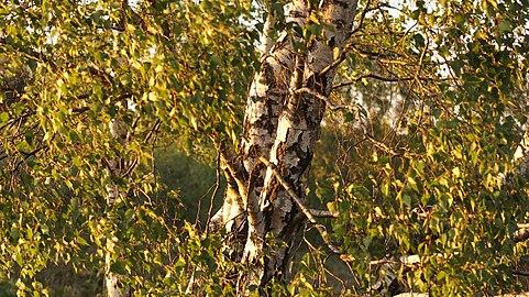 Schöne Birke auf dem Brunsberg.jpg
