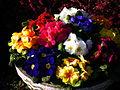 Schale mit Primeln in der Frühlingssonne März 2013.JPG