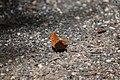 Schmetterling Semmering July 2020.jpg
