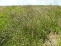 Schoenus nigricans kz10.jpg