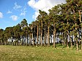 Scots pine strip wood on Doorpool Hill - geograph.org.uk - 756087.jpg